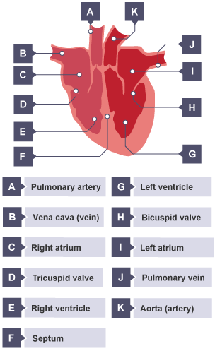 bbc bitesize - gcse biology - the circulatory system ... label heart diagram live heart diagram #15