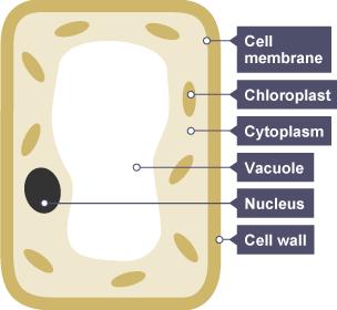 BBC Bitesize - KS3 Biology - Photosynthesis - Revision 1