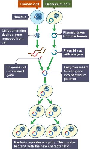 bbc bitesize gcse biology genetic modification and cloning  : genetic engineering diagram - findchart.co