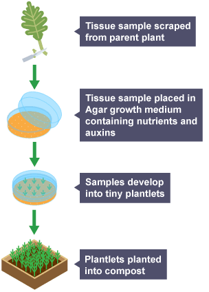 Bbc Bitesize Gcse Biology Reproduction In Plants