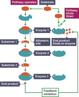 bbc bitesize higher biology introducing metabolism