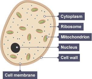 bbc bitesize gcse biology variety of living organisms revision 4 : fungal cell diagram - findchart.co