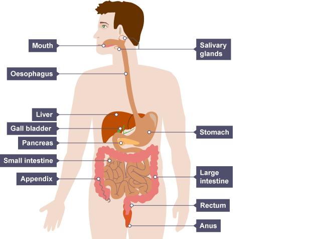 bbc bitesize gcse biology digestive system revision 1 : digestion diagram ks2 - findchart.co