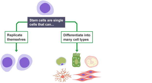 essays on stem cells Sample of stem cell research essay (you can also order custom written stem cell research essay).
