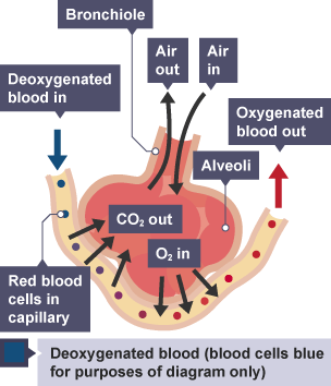 labelled diagram of the lungs gcse choice image how to