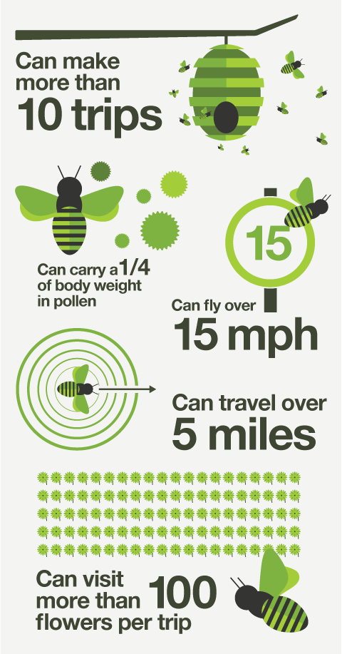 Infographic showing a forager bees day in numbers.
