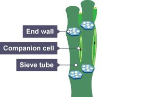 Bbc Bitesize National 5 Biology Transport Systems