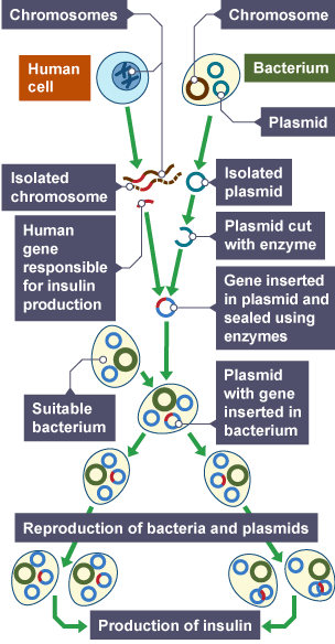 bacteria and plasmid to produce red Our biotechnology dvd first looks at major research areas in biotechnology such as the human genome project and the various forms of recombinant dna technology that produce transgenic plants and.