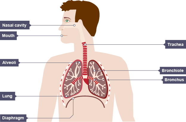 Breathing system diagram gcse explore schematic wiring diagram the respiratory system efintheline rh efintheline wordpress com respiratory system diagram printable diagram of lungs respiratory system ccuart Images