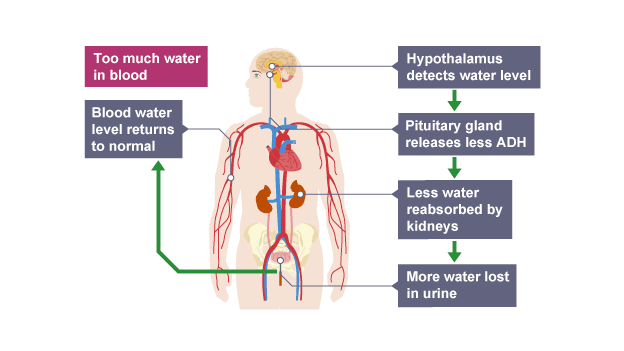 Bbc bitesize gcse biology excretion in plants and animals pituitary gland releases less adh too much water in blood hypothalmus detects water level pituitary gland releases less adh ccuart Image collections