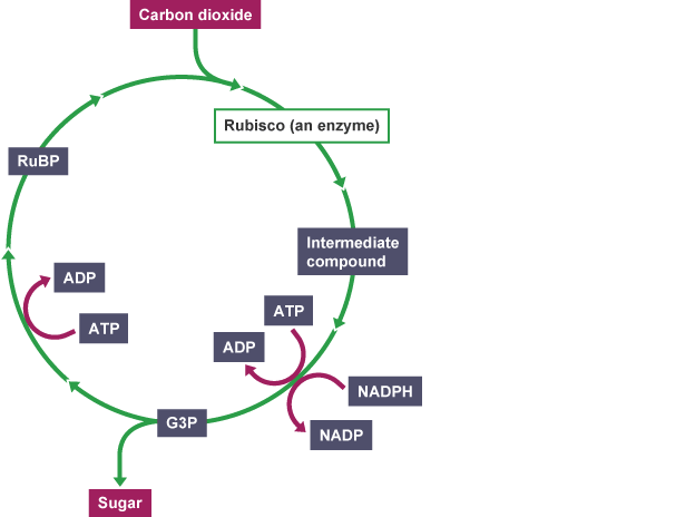 BBC Bitesize Higher Biology Science of food production – Calvin Cycle Worksheet