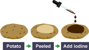 an experiment to test for the presence of starch in onion and potato using iodine solution Iodine is used to test for the presence of starch when iodine reacts with starch, it turns deep purple-black the iodine molecules are small enough to pass through the membrane of the plastic bag.