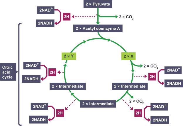 higher biology respiration essay help