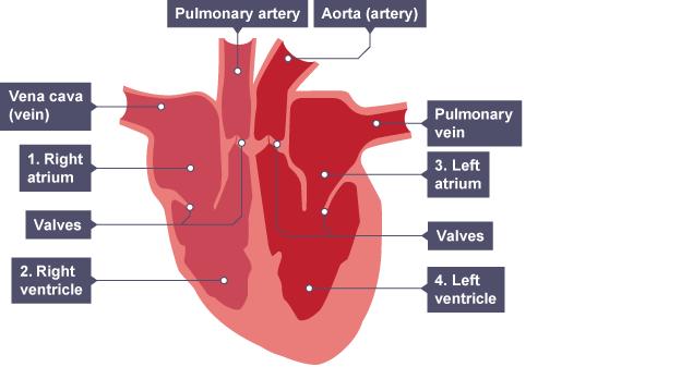 Bbc bitesize national 5 biology transport systems animals sstructure of mammalian heart rhs has the pulmonary artery vena cave right atrium ccuart Gallery