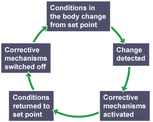 Conditions in the body change from set point, the change is detected and corrective mechanisms are activated. Conditions then return to set point and corrective mechanisms are switched off.