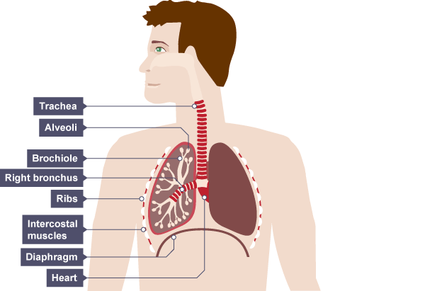 Bbc bitesize gcse biology respiratory system revision 1 the lungs consist trachea is below throat and passes under the rib cage into lungs the lungs consist ccuart Choice Image
