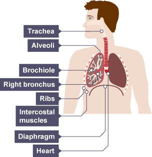 BBC Bitesize - GCSE Biology (Single Science) - Respiratory