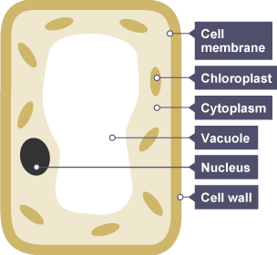 Parts of a plant ce map parts of a plant si parts of a plant cc bbc bitesize ks3 biology photosynthesis revision 1 on parts of a plant si ccuart Image collections