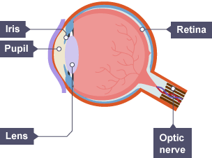 Bbc bitesize ks3 physics light waves revision 7 structure of the eye showing the iris pupl lens retina and optic ccuart Image collections
