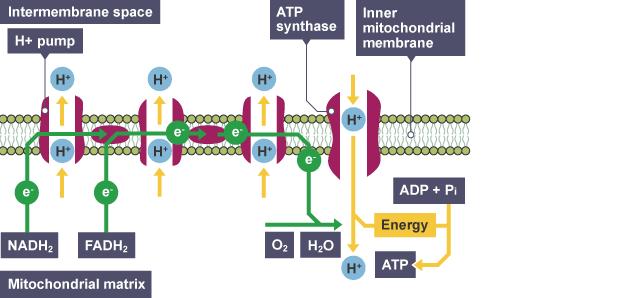 higher biology respiration essay
