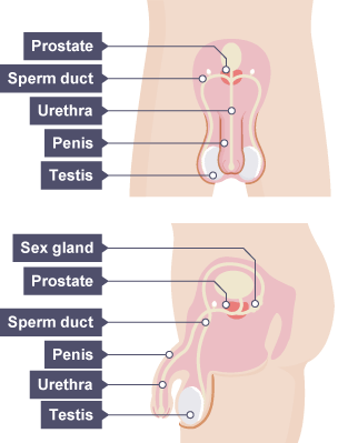 Bbc bitesize gcse biology reproduction in humans revision 1 the parts that comprise the human male reproductive system sex gland prostate sperm ccuart Image collections