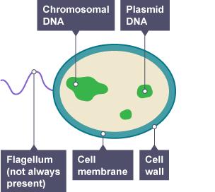 BBC Bitesize - KS3 Biology - Cells to systems - Revision 5