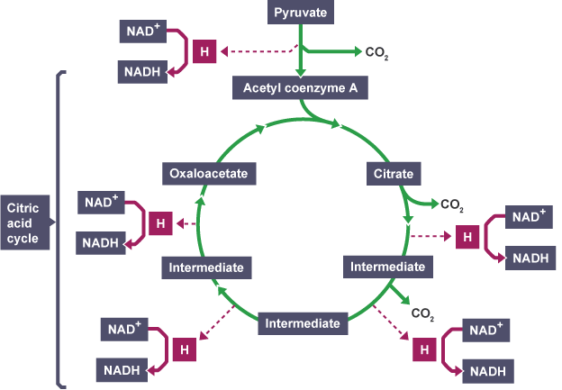 Bbc bitesize higher biology cellular respiration revision 3 krebs cycle krebs cycle ccuart Images