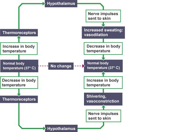 Body temperature regulation passionative body temperature regulation ccuart Images