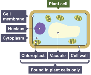 Bbc bitesize gcse biology wales 2016 onwards cells and diagram of an plant cell with labels for cell membrane nucleus cytoplasm and found ccuart Images