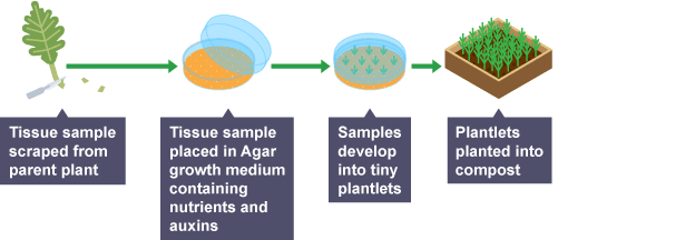 Diagram showing how plants can be cloned