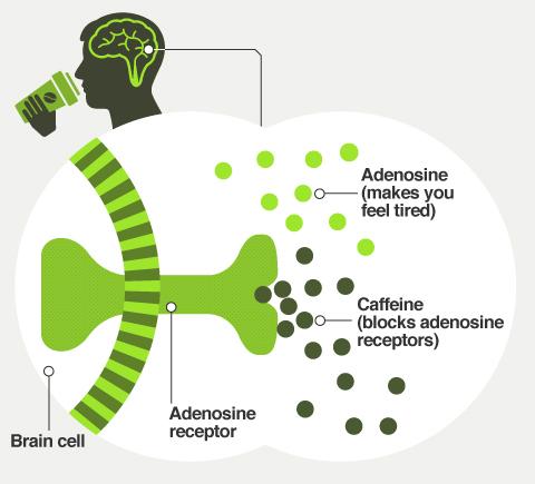 garphic show how caffeine works