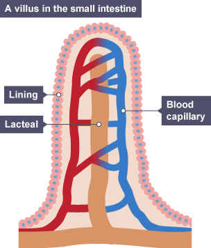 Bbc bitesize gcse biology digestive system revision 6 the lacteal a long relatively thin structure is surrounded by blood capillaries ccuart Image collections