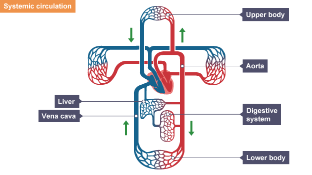 Bbc bitesize gcse biology the circulatory system revision 2 oxygenated blood enters heart via lungs travels from heart via aorta to digestive system ccuart Image collections