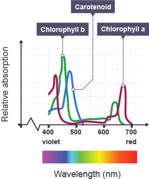 a level biolody lab photosynthetic pigments Mrs reis' ib biology sl search this site home course outline dp biology guide internal assessment & lab reports lab practicals nature of science practical 2: separation of photosynthetic pigments by chromatograph.