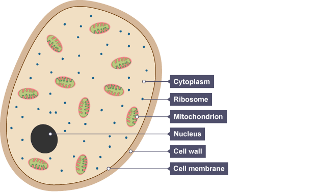 Bbc bitesize national 5 biology cell structure revision 2 a yeast cell showing cytoplasm the small ribosomes the larger mitochondrion nucleus ccuart Gallery
