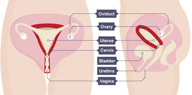 Reproduction and inheritance revision cards in igcse biology image result for female reproductive system gcse ccuart Image collections