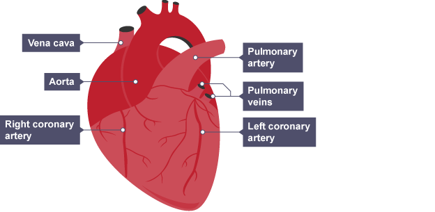 Bbc bitesize national 5 biology transport systems animals the heart muscles are supplied with blood by the coronary arteries ccuart Image collections