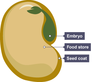 Bbc bitesize gcse biology reproduction in plants revision 5 component parts of fertilised ovule as it turns into seed seed coat around outside ccuart Image collections