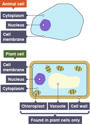 Bbc bitesize national 4 biology cell division and its role in animal and plant cells the animal cell shows cytoplasm nucleus and cell membrane ccuart Gallery