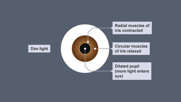 Bbc bitesize gcse biology single science coordination and when there is little light the pupil of the eye expands to let in more light ccuart Image collections