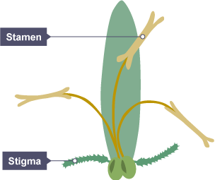 Bbc bitesize gcse biology reproduction in plants revision 2 close up of a plants stamen and stigma the stamen are attached to the ovary ccuart Images