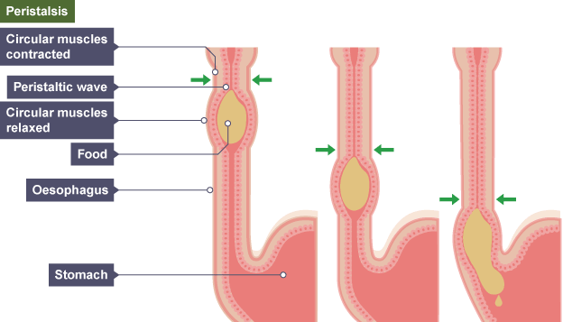 Bbc bitesize gcse biology digestive system revision 3 circular muscles above the three images of the oesophagus showing food traveling through by peristalsis circular muscles above the ccuart Image collections