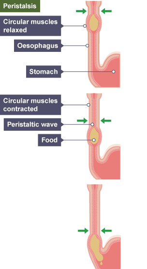 Bbc bitesize gcse biology digestive system revision 3 three images of the oesophagus showing food traveling through by peristalsis circular muscles above the ccuart Image collections