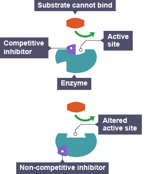 properties of enzymes and competitive inhibitors Properties of enzymes and competitive inhibitors esther juarez properties of enzymes were found in this experiment and some other factors, which affect enzyme activity.