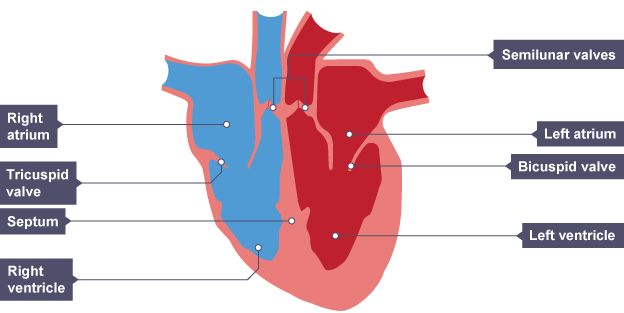 Diagram of heart bbc residential electrical symbols the cardiovascular system efintheline rh efintheline wordpress com diagram of heart arteries diagram of heart flow ccuart Images