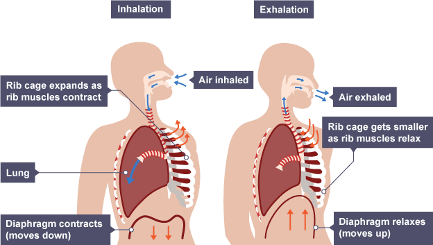 The respiratory system | efintheline