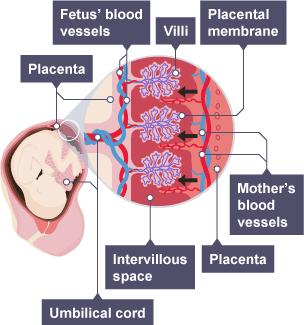 BBC Bitesize - KS3 Biology - Human reproduction - Revision 5
