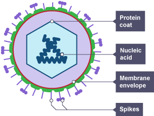 Bbc bitesize gcse biology wales 2016 onwards disease virus particle diagram membrane envelope nucleic acid protein coat ccuart Gallery
