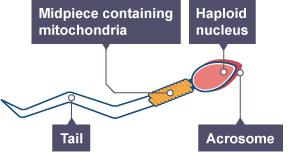 Diagram of a sperm cell
