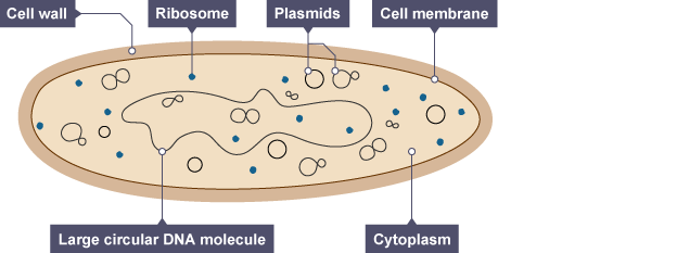 Yeast cell diagram gcse olivero yeast cell structure diagram image collections how to ccuart Gallery